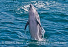 Image 3 of 4:  a large inshore bottlenose dolphin leaps out of the water