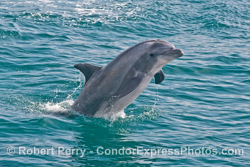 Image 4 of 4:  a large inshore bottlenose dolphin leaps out of the water
