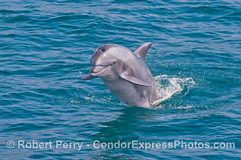 Image 2 of 4:  a large inshore bottlenose dolphin leaps out of the water
