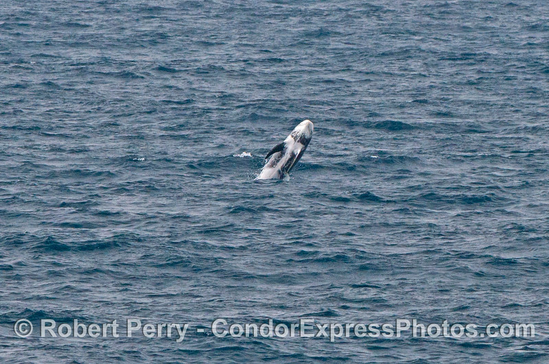 Image 2 of 2:  a Risso's dolphin breach