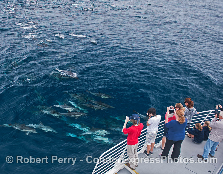 A densely packed pod of common dolphins greets the humans.