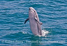 Image 1 of 4:  a large inshore bottlenose dolphin leaps out of the water