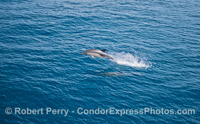 A blue and calm ocean highlights a leaping common dolphin