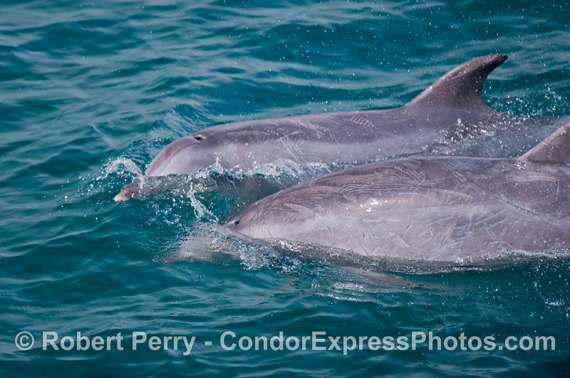 Two bottlenose dolphins side by side