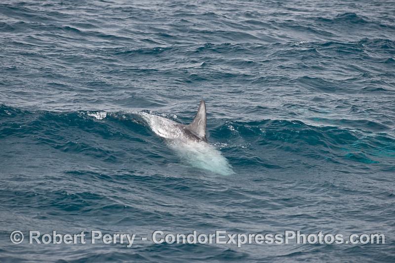 A Risso's dolphin rides an open ocean wave