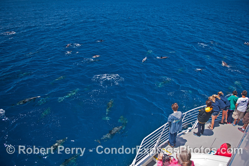 Humans get a great look at a large pod of common dolphins in blue water