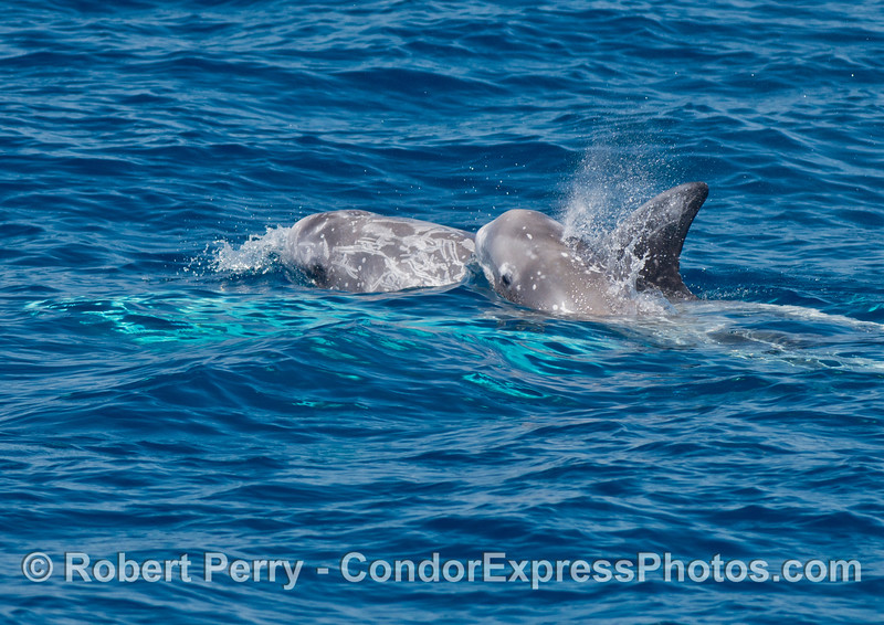 Mother (in back) and her calf (spouting) - Risso's dolphins