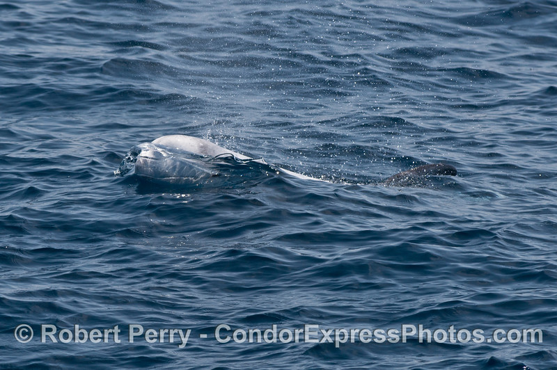 A Risso's dolphin breaks the surface and is seen behind a thin film of ocean water