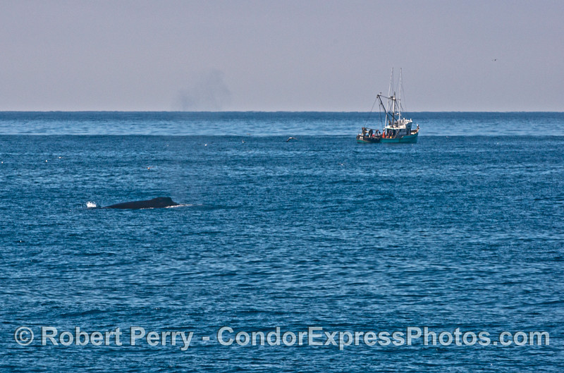 Humpback whale and fishing vessel.