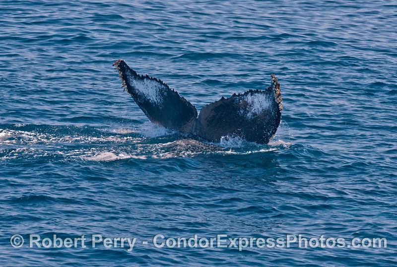 Humpback whale - underside of tail