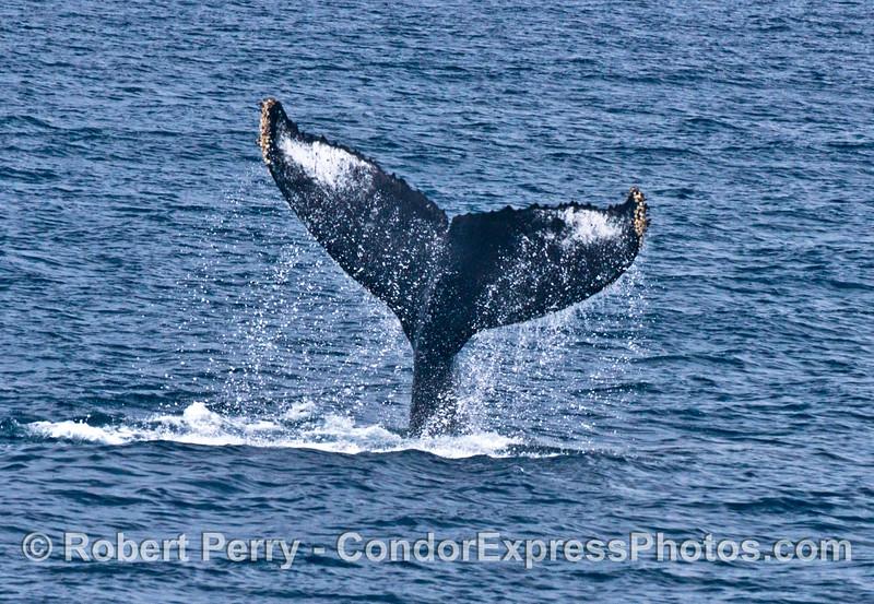 A humpback whale slaps its tail flukes