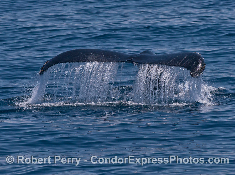 Humpback whale tail flukes waterfall