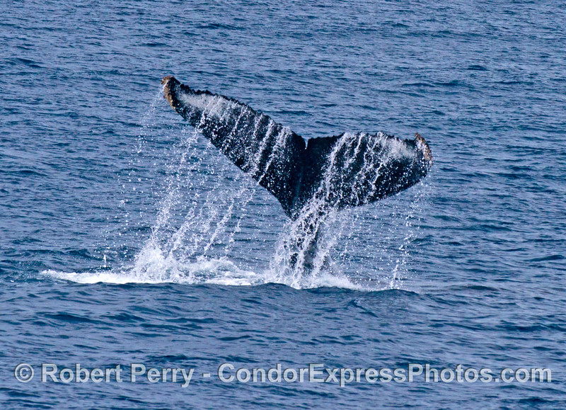 A humpback whale slaps its tail flukes