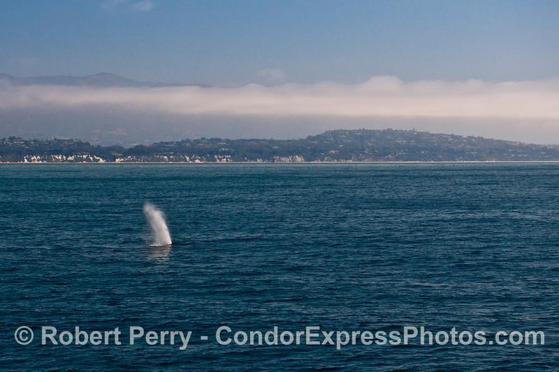 Visit Santa Barbara and see the whales - humpback