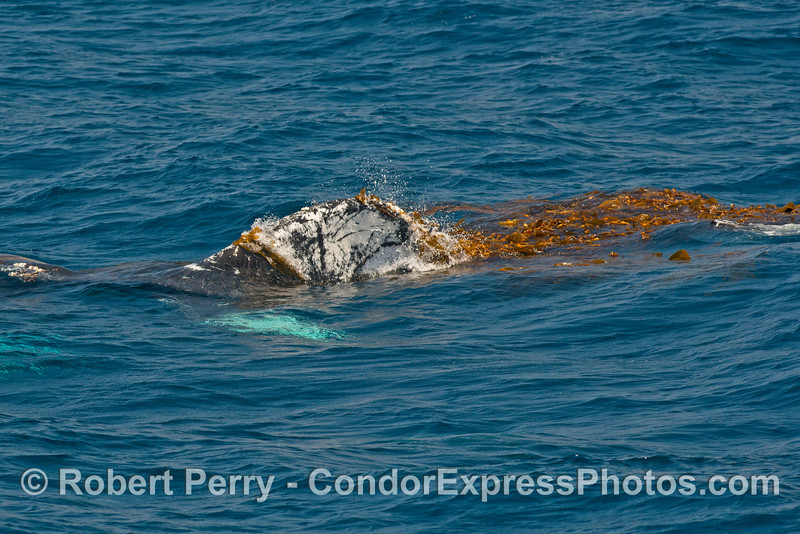 A humpback lifts its tail flukes into a giant kelp paddy - the fun begins