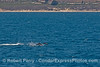 The western Santa Barbara coast, the blue ocean and leaping common dolphins