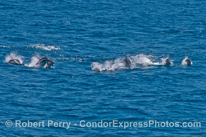 More common dolphins come towards the Condor Express