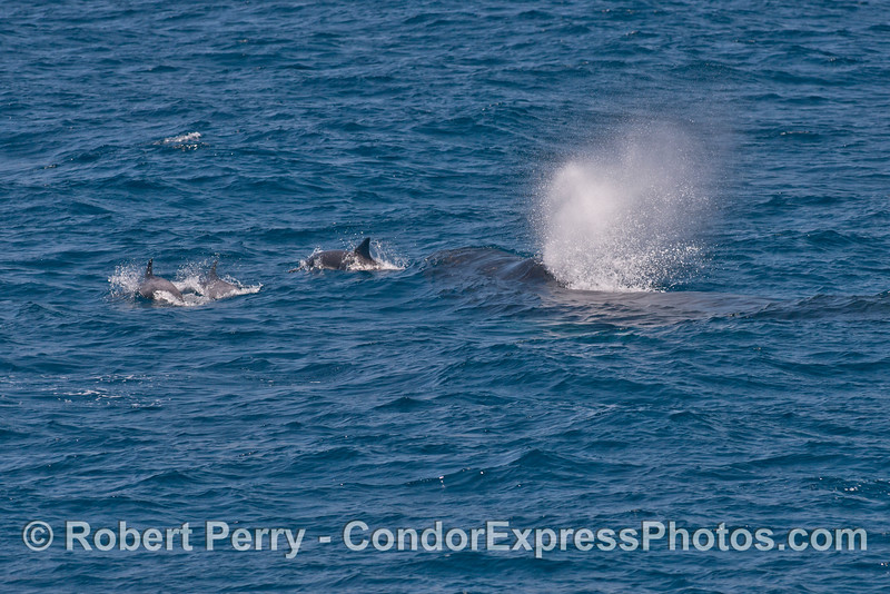 More common dolphins ride along in front of a humpback whale