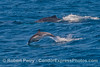Delphinus capensis & Megaptera novaeangliae 2014 07-09 SB Channel West-b-003