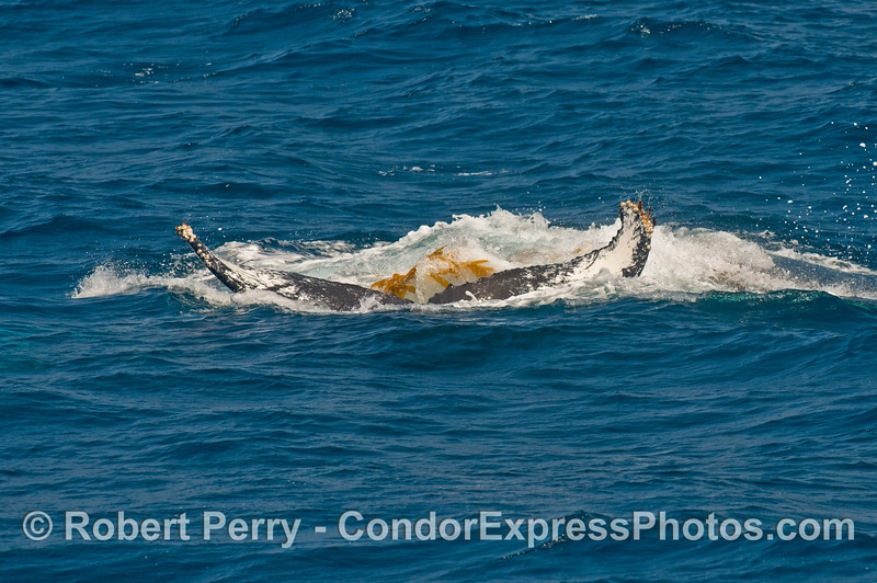 The humpback slowly sinks into the depths with giant kelp stipes still attached