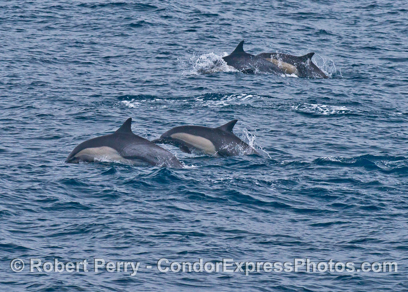 Common dolphins on the move