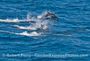 Delphinus capensis 2014 07-09 SB Channel West-d-011