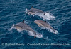 Three common dolphins, and the middle one is a calf