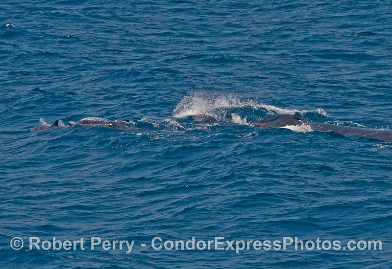 "Dolphins (left) ride the ""bow"" of a large humpback whale (right)"