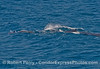 Megaptera novaeangliae & Delphinus capensis 2014 07-09 SB Channel West-c-002