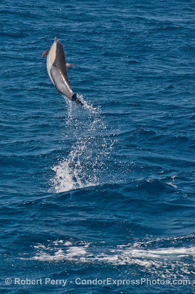 A high flying common dolphin