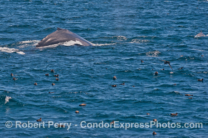 Humpback whale and sooty shearwaters