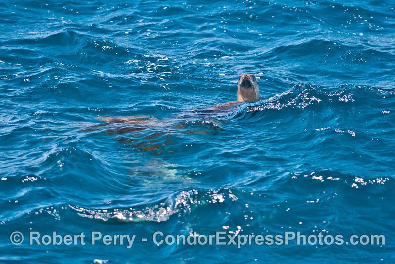 A curious California sea lion peeks across the waves