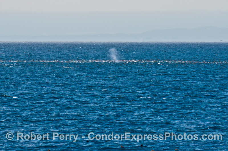 Sometimes one photo can tell the whole story.  Here we see an active oceanic hot spot with a feeding frenzy of common dolphins and sooty shearwaters.  Soon, the tall spout of a humpback whale is seen as the big cetacean joins the banquet