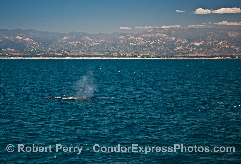 The old oil tanks from Platform Holly can be seen on the beach forming part of the background for this spouting humpback whale