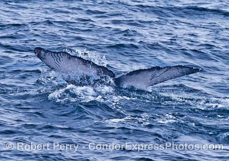 Tail flukes of a humpback whale calf with rake marks probably caused by a killer whale attack