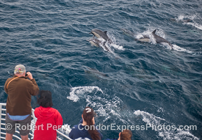 Friendly common dolphins visit the humans