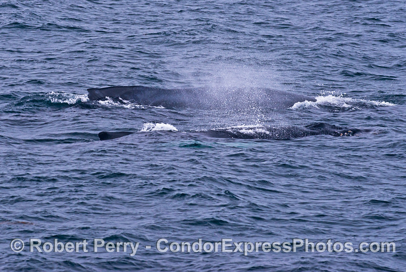 Mother and calf - humpback whales