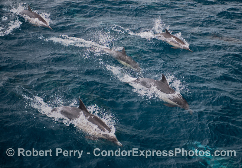 A fast moving pod of common dolphins