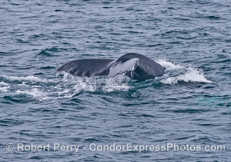 Rake marks from a killer whale attach are visible on the tail flukes of a humpback whale calf