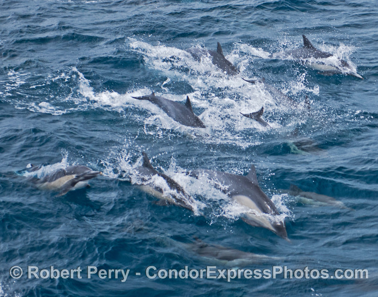 A common dolphin herd on the move