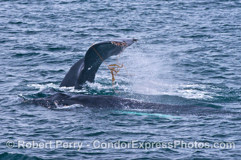 Mother and calf humpback whales.  Mom flukes up with giant kelp on tail flukes