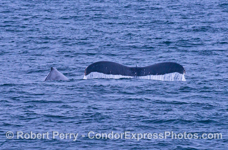 Mother humpback whale (right) and her calf (left)