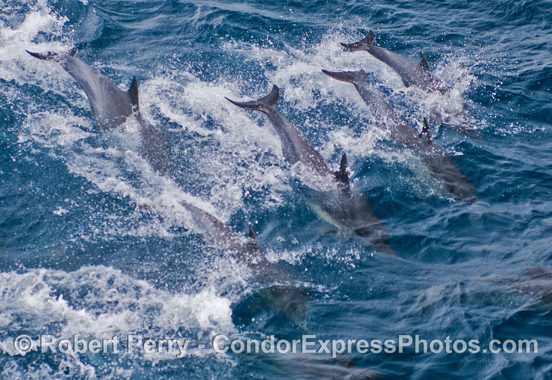 Common dolphins show their tails as they leap over a wave together