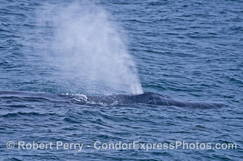 The big spout of a humpback whale