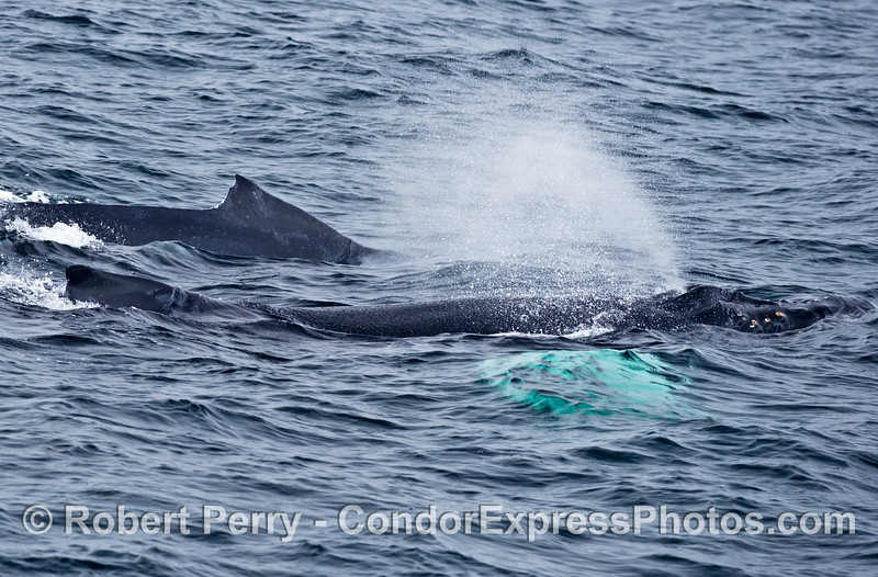 Mother and calf humpback whales.  The calf has white pectoral fins and is seen spouting