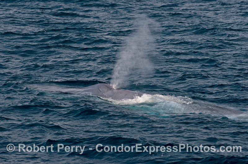 Waves wash across the broad shoulders of a giant blue whale