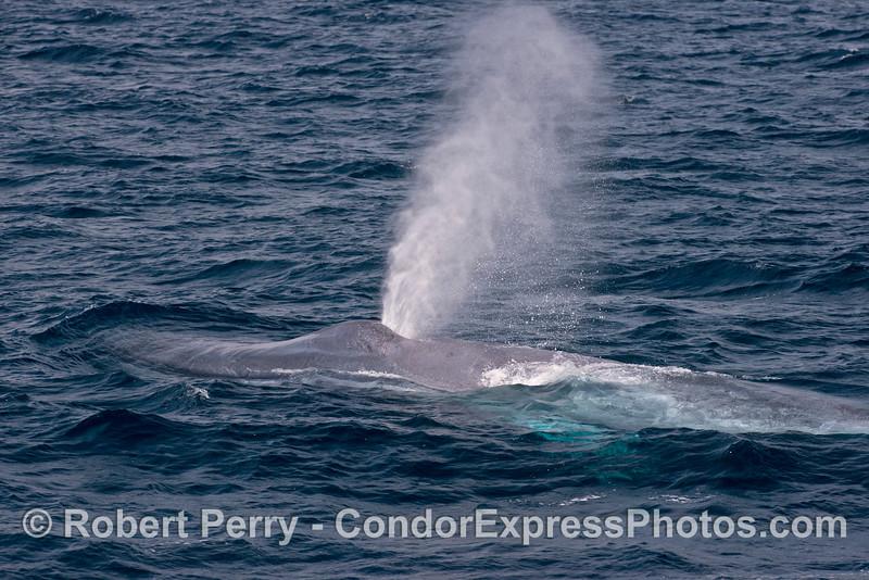 Blue whale spout