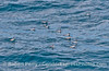 A flock of red necked phalaropes searches for surface macroplankton
