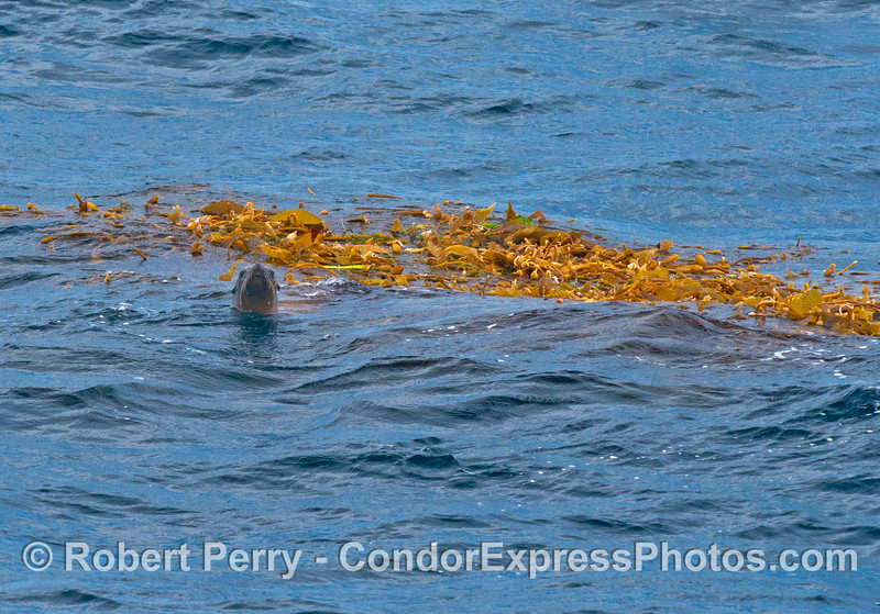 A California sea lion uses a drifting giant kelp patch as a mid-Channel resting place