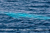 "The blue streak.   A giant blue whale swims just below the surface and shines bright blue in the sunlight.  This is thought to by why an ordinarily mottled gray animal was called a ""blue"" whale"